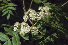 Flowering of mountain ash. Flowers of mountain ash on a tree growing in a spring forest. flowering of mountain ash Royalty Free Stock Image