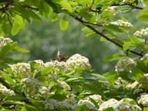Flowering Mountain Ash Tree with Butterfly Royalty Free Stock Image