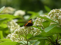 Flowering Mountain Ash Tree with Butterfly Stock Photography