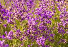 Flowering mountain lavender. Fragrant wild flowers and honey bee Stock Photo