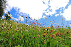 Flowering mountain meadow Royalty Free Stock Photo