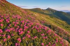 Flowering mountain meadows Royalty Free Stock Photos