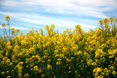 Flowering mustard field Royalty Free Stock Photo