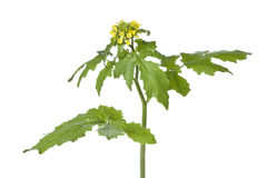 Flowering mustard plant. On white background stock image
