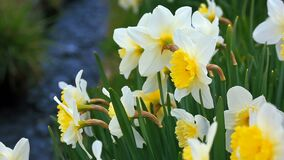 Flowering narcissus in the wind. stock video