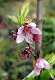 Flowering nectarine Royalty Free Stock Photos