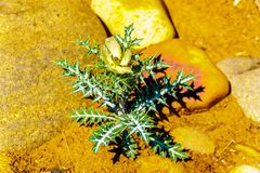 Flowering Nettle Plant on the dry river bed of the Olifants River in Kruger National Park stock image