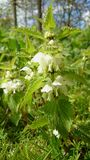 Flowering nettle Royalty Free Stock Photography