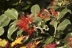 Flowering New Zealand Christmas bush in afternoon light stock photography