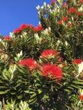 New Zealand Christmas tree-pohutukawa. Close up of red flowers on New Zealand shrub bush against blue skies Royalty Free Stock Photo