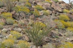 Flowering Ocatillo Cactus Plant in Desert Mountain Landscape. Near Borrego Springs California Stock Photo