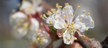 Flowering Of Apricot Stock Image