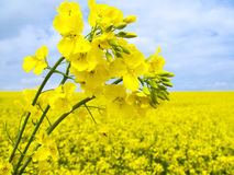 Flowering oilseed Stock Image