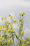 Flowering oilseed rape flower field closeup Royalty Free Stock Photos