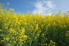 Flowering oilseed rape Royalty Free Stock Image