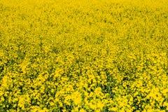 Flowering oilseed rape yellow. Spring Royalty Free Stock Photo