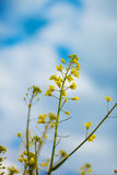 Flowering oilseed rapeseed. Canola crops on blue sky background Stock Images