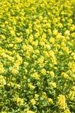 Flowering oilseed rapeseed Royalty Free Stock Photos