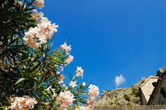 Flowering oleander Stock Photography