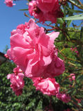 Flowering Oleander ( Nerium oleander, Apocynaceae ) with pink flowers against the blue sky Royalty Free Stock Photography