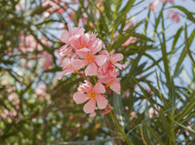 Flowering oleander. Royalty Free Stock Photography