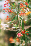 Flowering oleander trees in Montenegro, the Adriatic Sea and the Stock Photos