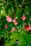 Flowering oleander trees in Montenegro, the Adriatic Sea and the Stock Photography