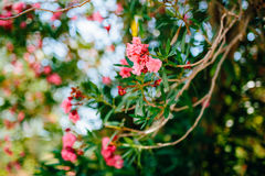 Flowering oleander trees in Montenegro, the Adriatic Sea and the Stock Images