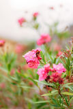 Flowering oleander trees in Montenegro, the Adriatic Sea and the Royalty Free Stock Images