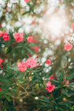 Flowering oleander trees in Montenegro, the Adriatic Sea and the Royalty Free Stock Image