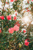 Flowering oleander trees in Montenegro, the Adriatic Sea and the Royalty Free Stock Photos