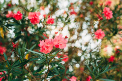Flowering oleander trees in Montenegro, the Adriatic Sea and the Royalty Free Stock Photo
