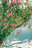 Flowering oleander trees in Montenegro, the Adriatic Sea and the Stock Photo