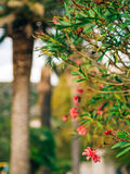 Flowering oleander trees in Montenegro, the Adriatic Sea and the Royalty Free Stock Photography