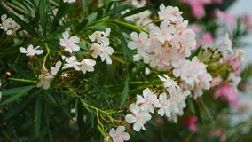 Flowering oleander trees in Montenegro, the Adriatic Sea and the. Balkans stock footage