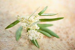 Flowering olive branch Stock Images