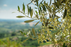 Flowering Olive Branch In Tuscany Royalty Free Stock Photography