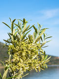 Flowering Olive Buds Royalty Free Stock Photos
