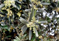 Flowering olive tree Stock Image