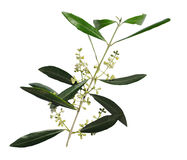 Flowering olive tree branch, a symbol of peace, isolated on a white background Royalty Free Stock Photography