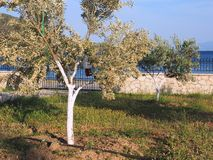 Flowering Olive Tree in Garden. A young flowering olive tree in a seaside front yard or garden. Biodynamic pest control, including whitewashed trunk royalty free stock photo