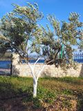 Flowering Olive Tree in Garden Royalty Free Stock Photography