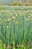 Flowering onion field Stock Image