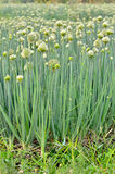 Flowering onion field Stock Photography