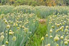 Flowering onion field Stock Photos
