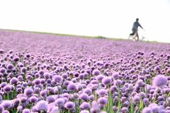 Flowering onion field Royalty Free Stock Photography