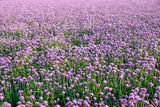 Flowering onion field Stock Photo