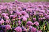Flowering onion field Royalty Free Stock Image