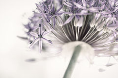 Flowering onion flower Stock Images