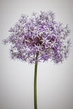 Flowering onion flower Stock Image